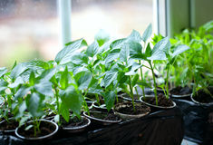 Paprika plants in pots on window Stock Images