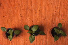 Paprika plants. Three green pepper plants. Young plant Stock Image