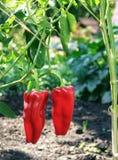 Paprika rojo dulce durante la maduración en un arbusto Imagenes de archivo