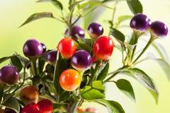 Paprika sauvage, eximium de Capsium, fruits ronds Photo libre de droits