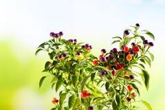 Paprika sauvage, eximium de Capsium, fruits ronds Images stock