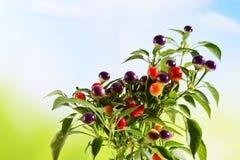 Paprika sauvage, eximium de Capsium, fruits ronds Photographie stock libre de droits