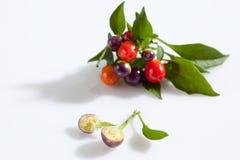 Paprika sauvage, eximium de Capsium, fruits ronds, divisés en deux Images libres de droits