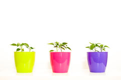 Paprika seedling sprout in a purple, rose and yellow-green plast. Ic pot on white background Stock Image