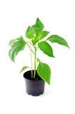 Paprika seedling on white background. Royalty Free Stock Photo