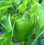 Paprika Verde Imagen de archivo libre de regalías