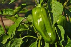 Paprika verde a ser cosecha Imagen de archivo libre de regalías