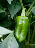Paprika vert sur le buisson Photo stock