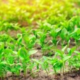 paprikaplantor i v?xthuset, ordnar till f?r transplantat i f?ltet, lantbruket, jordbruk, gr?nsaker, eco-v?nskapsmatch royaltyfria bilder