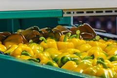 Paprikas jaunes sur une bande de conveyeur Photo libre de droits