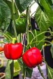 Paprikas rojos Imagen de archivo