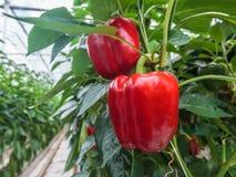 Paprikas rojos en un invernadero Foto de archivo libre de regalías