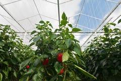 Paprikas rouges s'élevant à l'intérieur d'une serre chaude Photo libre de droits