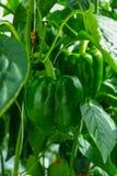 Paprikas verdes dulces maduros grandes, paprika, creciendo en el gre de cristal Imagenes de archivo