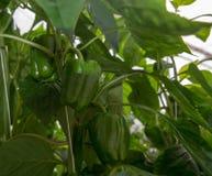 Paprikas verdes dulces maduros grandes, paprika, creciendo en el gre de cristal Fotografía de archivo