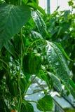 Paprikas verdes dulces maduros grandes, paprika, creciendo en el gre de cristal Foto de archivo libre de regalías