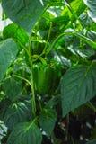 Paprikas verdes dulces maduros grandes, paprika, creciendo en el gre de cristal Foto de archivo