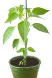 Paprikaväxt i en kruka som isoleras på en vit Arkivbild