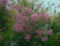Paproć jak drzewny kwitnienie z różowymi kwiatami Obrazy Stock
