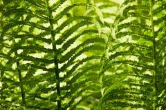 Paproć leafs tło Obrazy Royalty Free