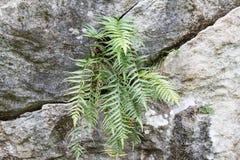 Paproć liście na skale w naturze Zdjęcia Stock