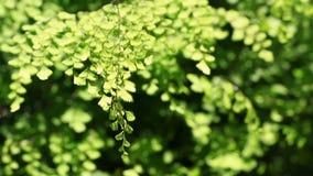 Paproć liście w ogródzie zbiory wideo