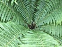 Paproć liście w ogródzie Naturalny zieleń lej fotografia stock