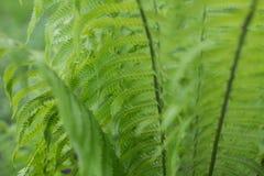 Paproć liście zielenieją ulistnienia naturalnego kwiecistego paprociowego tło Fotografia Royalty Free