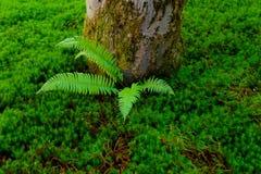 Paproć przy bazą drzewo w luksusowym dywanie ziemi pokrywa Zdjęcia Stock