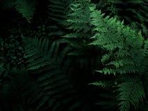 Paproć w ciemnym lesie, atmosferyczna fotografia, roślinność Rosyjska natura zdjęcie stock
