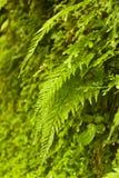 Paproć w dżungli Zdjęcie Royalty Free
