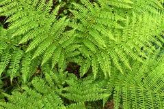 Paproć w lesie Obraz Royalty Free