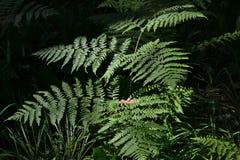 Paproć w lesie jaskrawy zaświecają słońcem Fotografia Royalty Free