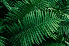 Paproć zieleni liście obrazy royalty free