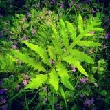 Paproć i wildflowers Zdjęcia Royalty Free