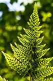 paproć leafs zarodniki Zdjęcia Stock