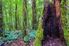 Paproć r na drzewnym karczu w tropikalnym lesie tropikalnym Zdjęcie Stock