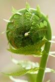 paproć spirali Zdjęcie Royalty Free