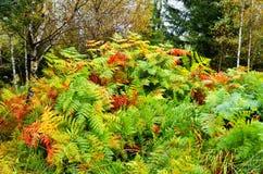 Paproć w jesieni Fotografia Stock