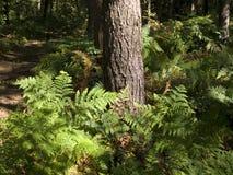 Paproć w lesie Obrazy Stock