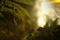 Paproć w lesie Fotografia Royalty Free