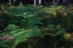 Paproć w lesie blisko Shatsk obraz royalty free