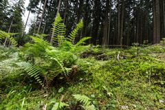 Paproci i mech dorośnięcie w lesie Fotografia Royalty Free