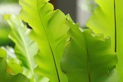 paproci ptasi gniazdeczko s Zdjęcia Royalty Free