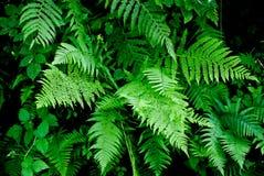 paproci zieleń Fotografia Royalty Free