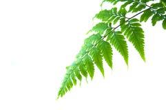 paproci zieleń Obraz Royalty Free