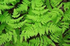paproci zieleni liść Obrazy Royalty Free