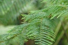 Paproci zielony tło Zdjęcia Royalty Free
