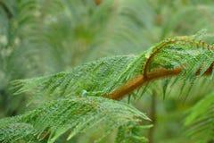 Paproci zielony tło Obrazy Royalty Free