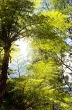paprocie drzewne Zdjęcia Stock